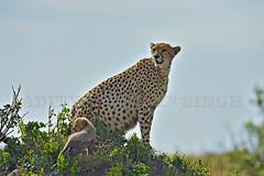 Cheetah-Cubs (dickysingh) Tags: cheetah cubs malaika masaimara