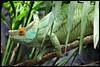 Parson's chameleon (Calumma parsonii) (Xavi BF) Tags: male xavier chameleon parsons parson londonzoo reptilia chamäleon camaleón bayod squamata chamaeleonidae lacertilia farré parsonii zsllondonzoo parsonschameleon calumma chamaeleoninae canoneos60d calummaparsonii parsonschamäleon tamron70300vcusd efs18135mmf3556isstm xavierbayod xavierbayodfarré camaleóndeparson