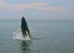 Breeching Humpback (WilliamJCovello) Tags: life animal animals marine whale whales humpback