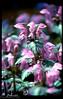 puarplethrot.jpg (photomi7ch) Tags: color colour film nature floral 35mm purple mint slide bloom flowing graden nikonf5 flowerplant fujiprova photomi7ch orinemtal