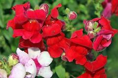 More Snapdragons 003 (Chrisser) Tags: flowers summer ontario canada garden gardening fourseasons closeups snapdragons plantaginaceae natutre anthirrinum canonefs1855mmf3556islens canoneosrebelt1i