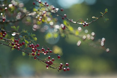 Berry Bokeh (jillyspoon) Tags: autumn red nature canon berry flickr berries hawthorn redberries countryfile jillyspoon canon70d srbphotographic
