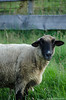 201408-Scharfe-7221 (jerdlingshof) Tags: green sheeps wz scharfe erdlingshof