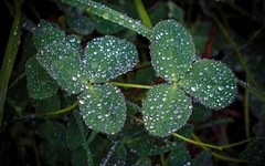 rose (cb cline) Tags: nature eau vert matin trfle rose brindilles