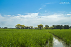 countryside (shaan2noo) Tags: blue sky india green clouds cool paddy country sunny assam northeast  barpeta worldwidelandscapes natureselegantshots thebestofmimamorsgroups panoramafotografico flickrsportal theoriginalgoldseal topshots napturesplus