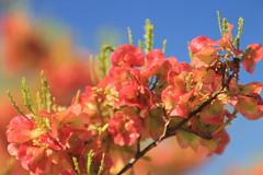 Flinders Range - Wildflowers (www.JnyAroundTheWorld.com - Pictures & Travels) Tags: australia australie southaustralia australiedusud outback flinders flindersrange nationalpark nature wilderness wildflowers jny canon jnyaroundtheworld jenniferlavoura
