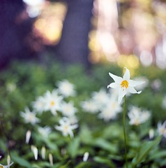 Avalanche Lily (Aaron Bieleck) Tags: 6x6 film oregon analog square bokeh backpacking wildflowers hasselblad500cm mthoodnationalforest 10mmextensiontube avalanchelily 80mmct kodakektar100