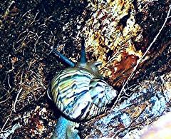 29-09-2014 (8) (Rinaldo2016) Tags: aru caramujos gastrpodes