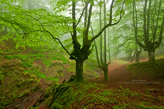 Guardianes de Itxina (Pruden Barquin) Tags: paisaje landscape naturaleza nature hayas hambiente niebla fog forest bosques fotografia prudenbarquin nikon nikkor