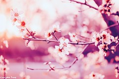Mientras haya en el mundo primavera, (gusdiaz) Tags: fleur flower blossoms spring peach tree nature naturephotography beautiful pastels sunrise sunset amanecer atardecer durazno arbol flores naturaleza luz light suave soft