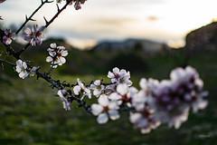 Un deseo (http://fotografiadeluz.blogspot.com.es/) Tags: nikon nikkor d3300 comunidadespañola color atardecer naturaleza nature planta flor floración macrofotografía árbol