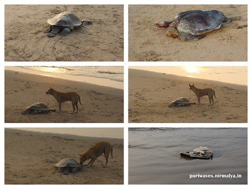 Dead Turtle At Puri Beach