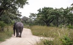 Kruger Park (cristianachivarria) Tags: kruger krugerpark safari southafrica bigfive big5 animal nature