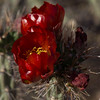 Cactus Blooms-2253 (Fortuitous Light) Tags: nature cactus flowers blooms macro flickrsfantasticflowers