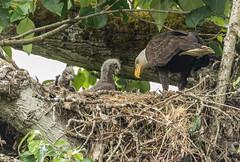 Bald Eagle with little ones (Peter Bangayan) Tags: eagles ef300mmf4lisusm ef500mmf4lisusm wildlife birds nature raptors birdsofprey