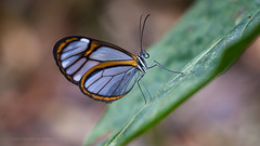 Glass Wing Butterfly (Almir Cândido de Almeida) Tags: borboleta asas transparentes vidro clear wings ithomiinae bahia ba serra bonita camacan lepidoptera butterfly