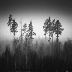 Pines and Birches (FineartPhotoshots) Tags: wood trees blackandwhite mist tree nature monochrome fog pine forest landscape birch nurmijrvi