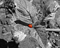 Little Red (StirlingCreative.com) Tags: red color art nature bug insect rouge experiment ladybird ladybug selective