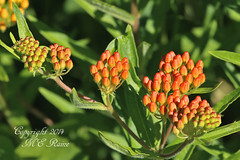 Orange Milkweed Plant at Duke Farms in Hillsborough NJ (takegoro) Tags: flowers orange plants nature weeds wildflowers milkweed sanctuary naturepreserve orange dukefarms milkweed nj hillsborough