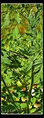 Green tomato number one (MissyPenny) Tags: green vegetables garden tomatoes buckscounty bristolpennsylvania