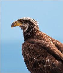 Young Bald Eagle (TT_MAC) Tags: eagle baldeagle raptor birdofprey campbellriverbc juvenilebaldeagle willowpoint