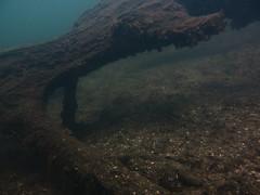 Underwater Schmaler Luzin, Feldberg (yayapapaya77) Tags: plants lake tree leaves germany see underwater laub pflanzen diving baum feldberg mecklenburgvorpommern tauchen unterwasser schmalerluzin canonpowershotg15