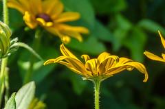 """""""Blackeyed Susan"""" Cone Flower (tkclip47) Tags: flower susan cone blackeyed"""