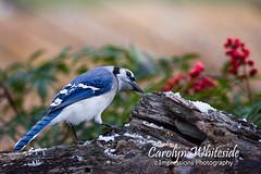 Blue Jay on Log