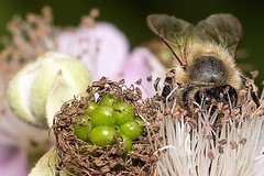 Blüten mit Biene (thomaskappel) Tags: mit biene blten