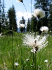 Wishing Flowers (Ren193) Tags: blue light sky sun white flower austria bright meadow wishing