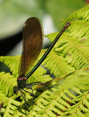 "Beautiful Demoiselle Damselfly • <a style=""font-size:0.8em;"" href=""http://www.flickr.com/photos/57024565@N00/14488950864/"" target=""_blank"">View on Flickr</a>"
