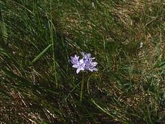 Spring Squill (nz_willowherb) Tags: see scotland flickr tour visit fairisle shetland stay to springsquill scillaverna go fairisleflora stayinfairisle gotofairisle photosoffairisle visitshetland seeshetland goptoshetland visitfairisle