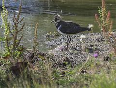 Young Lapwing (aliboo2011) Tags: lapwing yorkshirewildlifetrust wildlifetrusts northcavewetland