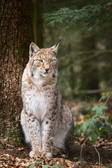 lynx (Cloudtail the Snow Leopard) Tags: wildpark pforzheim tier animal mammal säugetier katze cat feline luchs lynx cloudtailthesnowleopard
