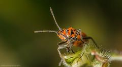 Corizus hyoscyami (markhortonphotography) Tags: red macro canon bug insect surrey 100mm 7d f28 deepcut surreyheath hemiptera corizushyoscyami eos7d