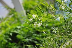 Asparagus falcatus (douneika) Tags: asparagus liliaceae falcatus