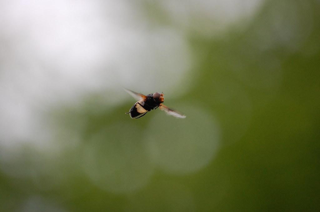 Whitnash Brook - Hoverfly