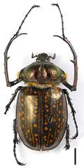 Cheirotonus (yutanakase) Tags: macro insect lumix panasonic g6 coleoptera scarabaeidae zerenestacker olympuszuiko60mmmacro