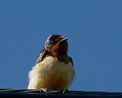 Barn Swallow 34 (Hirundo rustica) (egdc211) Tags: bird aves barnswallow hirundorustica birdwatcher backyardbirding connecticutbird