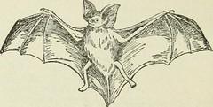 Anglų lietuvių žodynas. Žodis carnivorous bat reiškia plėšrieji bat lietuviškai.