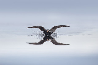 Long-tailed Duck Landing
