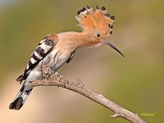 Abubilla común (upupa epops) (eb3alfmiguel) Tags: aves abubilla insectívoros pájaro