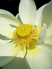 Lotus Macro (Puzzler4879) Tags: flowers macro lotus ngc powershot waterlilies pointandshoot closeups nybg canonpowershot newyorkbotanicalgarden onblack whiteflowers tropicalwaterlilies flowermacro canonphotography canonpointandshoot flowersonblack macroonblack a580 canona580 canonpowershota580 powershota580