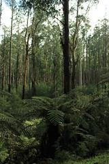 Black Spur Drive (kelliejane) Tags: winter fern tree gum spur healesville roadtrip victoria yarra greatdividingrange maroondahhighway tallforest narbethong blackspurdrive kelliejane youllloveeverypiece mountainashmelbourne yarravalleymelbournesights