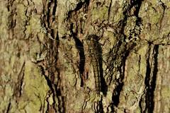 190 - 365 (-Frank S-) Tags: wildlife ostsee weibchen groser plattbauch blaupfeil segellibelle groserblaupfeil karlsminde groerblaupfeil wieibchen