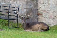 DSC_1187 - Fallow deer (dama dama) (102er) Tags: uk england nature animal animals fauna nikon wildlife national trust tamron dunham massey 70300 d3100