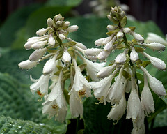 0008124 (To all that visit, Thank you) Tags: plant canada flower rain garden drops nb bloom hosta mygarden ©allrightsreserved nbphoto abiquadrinkinggourd
