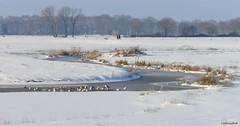 a cold but nice walk with the dog (HansHolt) Tags: trees winter dog snow ice reed water walking bomen beek gulls sneeuw hond brook meander riet meeuwen ijs uitlaten oudediep oudekene olympusmju9010 olympusstylus9010