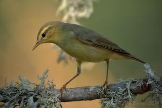 Felosa-musical | Phylloscopus trochilus | Willow warbler