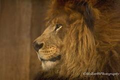 The King (Mellon 99) Tags: africa wild canon wildlife lion predator mane predators mellon99photography davemellon